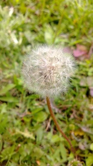 928-dandelion